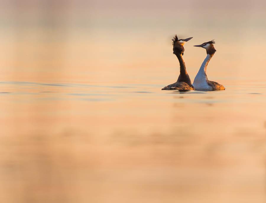 grebes lovers in po delta at sunset marco ronconi wildlife photography nature birds wilderness venice outdoor canon nobody svassi maggiori al tramonto nelle valli del delta del po venezia nessuno selvatico selvaggio escursione stampa fine art