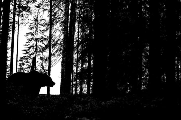 Ursus arctos brown bear silhouette finland forest marco ronconi wildlife photography nature nobody wilderness canon orso bruno controluce finlandia foresta fotografia naturalistica fine art prints