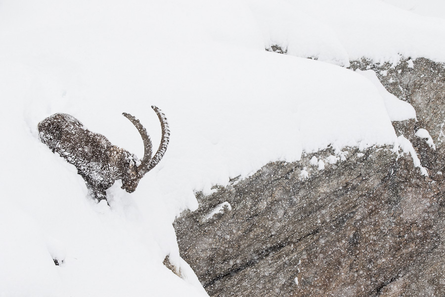 capra ibex under the snowfall gran paradiso aosta valley marco ronconi willdife photographer nobody alps mountains stambecco sotto la neve natura fotografia naturalistica montagna alpi