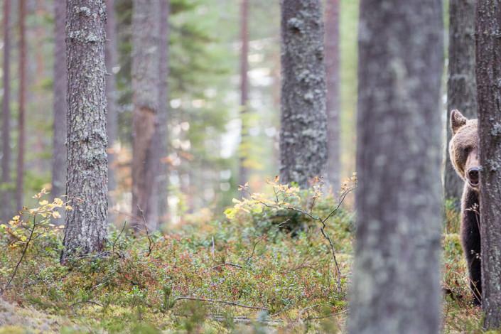 ursus arctos bear wildlife marco ronconi wildlife photography nature wilderness fine art prints wild finland forest boreal nobody canon 5d mark III fotografia naturalistica natura stampa fine art mammiferi orso bruno finlandia selvaggio selvatico nessuno foresta tramonto