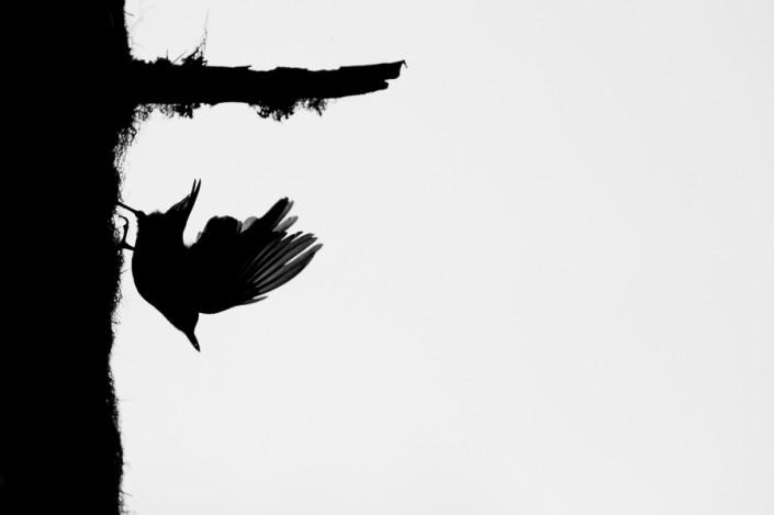 sitta europaea nuthatch jumping monochrome minimalism marco ronconi wildlife photography nature wilderness alps mountains nobody picchio muratore fotografia naturalistica bianco nero minimalismo selvaggio selvatico alpi montagna escursione nessuno