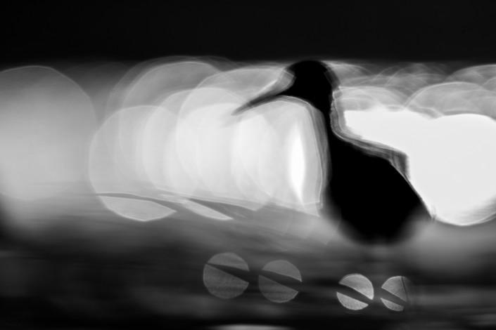 tringa totanus bokeh fine art prints marco ronconi monochrome mono black white birds wildlife photography nobody po delta pettegola bokeh natura fotografia naturalistica monocromatico bianco nero delta del po nessuno stampa fine art uccelli