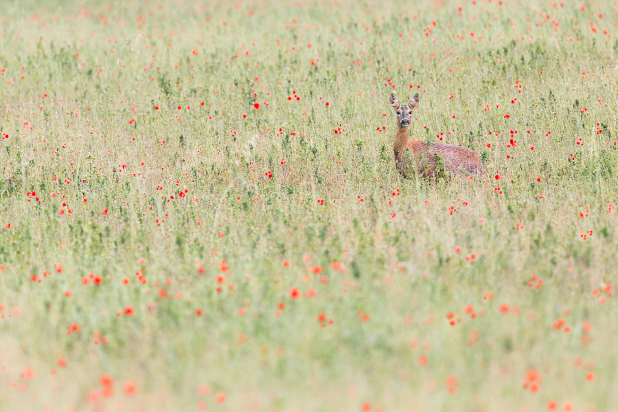 capreolus mammals roe deer in poppy field appennino bologna fine art print wildlife marco ronconi nature photography wilderness outdoor nobody canon 400 DO I0S II appennino bolognese collina fotografia naturalistica selvatico selvaggio natura papaveri capriolo stampa fine art nessuno mammiferi sentiero fiori autore