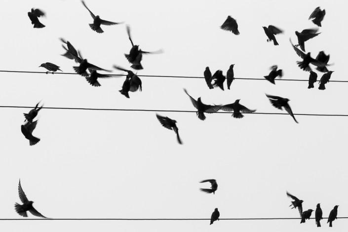 sturnus vulgaris starling birds minimalism minimal fine art prints marco ronconi wildlife photographer photography nature nobody art monochrome wildlife black white minimalism po delta albarella fine art natura venezia delta del po minimalismo storni movimento spartito musicale bianco nero monocromo escursione escursionismo