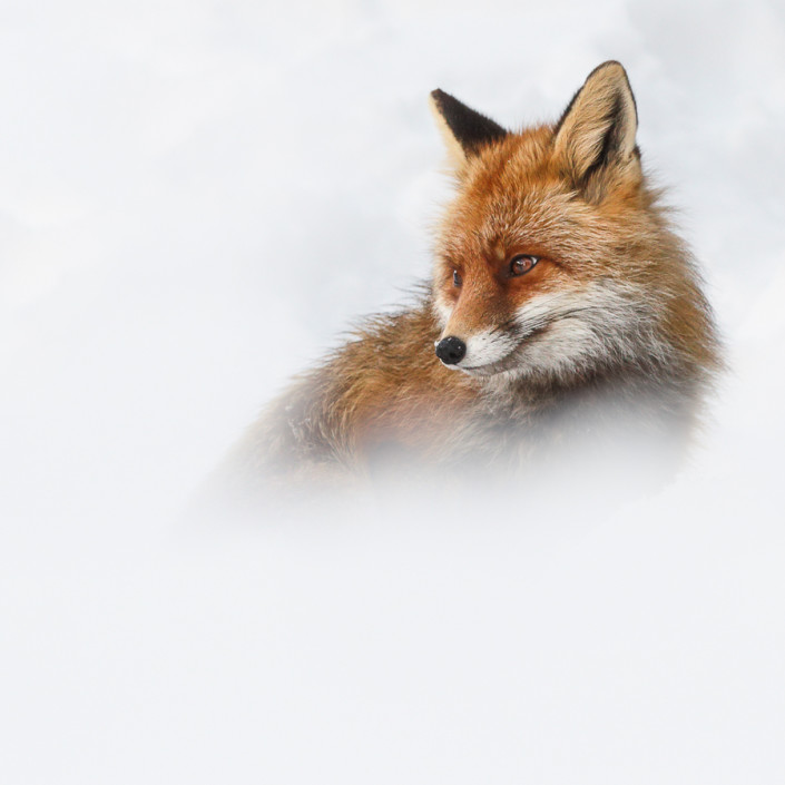 vulpes vulpes red fox in the snow aosta gran paradiso park marco ronconi wildlife photography italian alps nature volpe rossa nella neve alpi italiane aosta parco del gran paradiso fotografia naturalistica