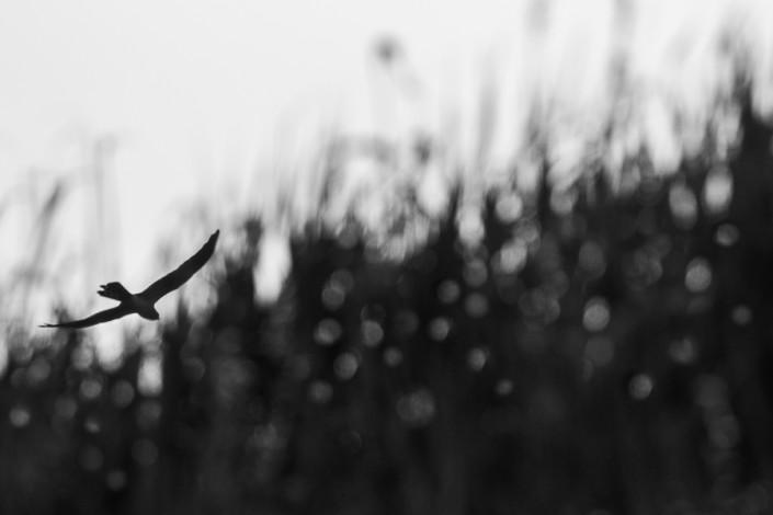circus cyaneus harrier in po delta black white silhouette marco ronconi nature photography wildlife po delta venice outdoor nobody monochrome mono fine art prints albanella reale bianco nero mono minimalista canon 400 DO IS II nessuno rapaci valli del delta venezia stampa fine art