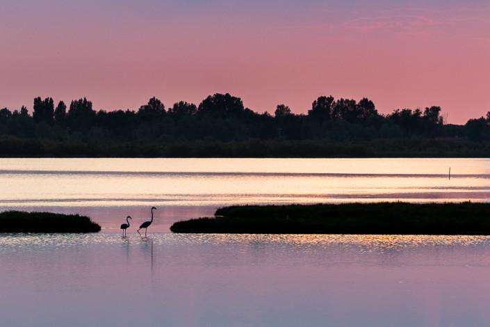 Phoenicopterus Linnaeus flamingos sunset in po delta venice marco ronconi wildlife photography nature landscape nobody fenicotteri al tramonto delta del po venezia natura fotografia naturalistica