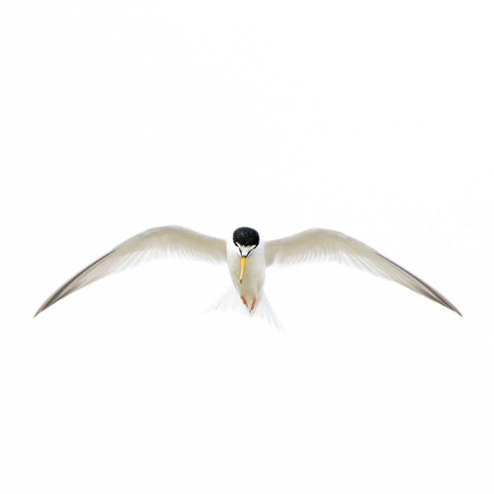 minimalism sternula albifrons birds po delta wildlife marco ronconi wildlife photographer nature venice fraticello in volo nel delta del po venezia natura