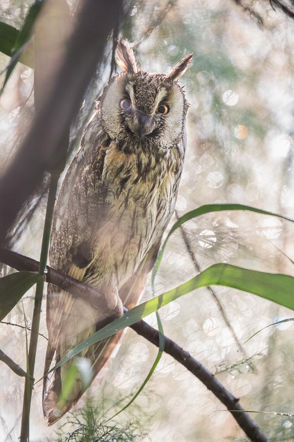 asio otus owl and rain drops po delta venice marco ronconi wildlife photography natura gufo comune nella pioggia fotografia naturalistica delta del po uccelli nessuno