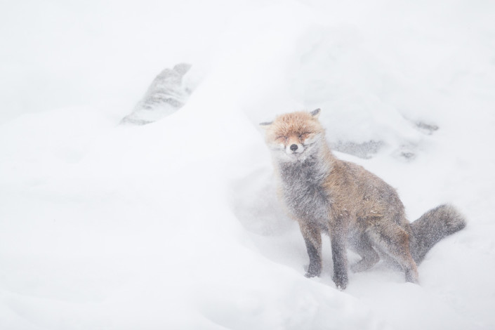 vulpes vulpes red fox in the storm gran paradiso national park aosta valley marco ronconi wildlife photography nature wilderness canon nobody mammals outdoor alps mountains natura volpe rossa nella tormenta parco gran paradiso selvatico natura selvaggio stmpa fine art nessuno