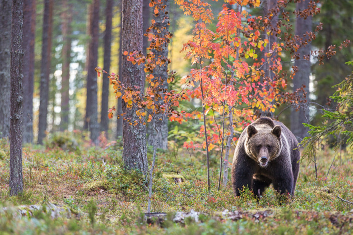 brown bear autumn colors ursus arctos finland mammals marco ronconi wildlife nature photography outdoor orso bruno colori autunnali fotografia naturalistica finlandia selvatico selvaggio