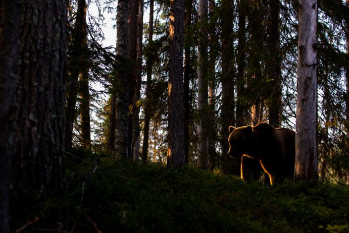 bear finland ursus arctos mammals marco ronconi wildlife photography nature orso bruno controluce finlandia fotografia naturalistica selvatico selvaggio fine art
