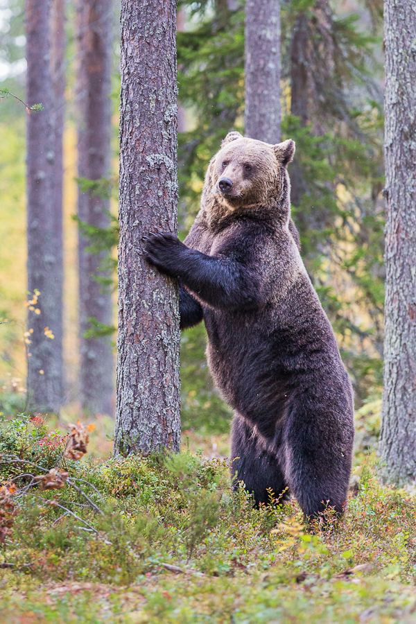 brown bear stretching finland forest ursus arctos mammals marco ronconi wildlife nature photography orso bruno finlandia foresta fotografia naturalistica selvaggio selvatico