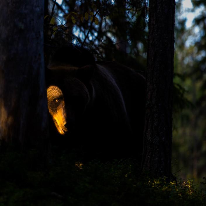 spot light bear finland ursus arctos mammals marco ronconi nature wildlife photography fine art orso bruno finlandia fotografia naturalistica selvaggio selvatico foresta canon 1dx