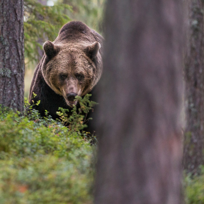 brown bear finland watching ursus arctos mammals marco ronconi wildlife photography nature wilderness outdoor fotografia naturalistica orso bruno finlandia foresta escursionismo fineart