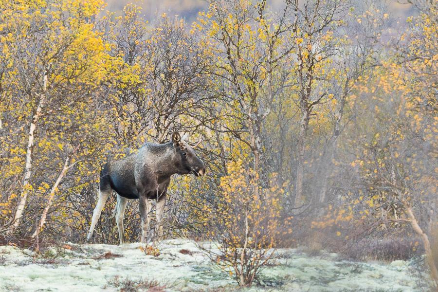 moose_12site