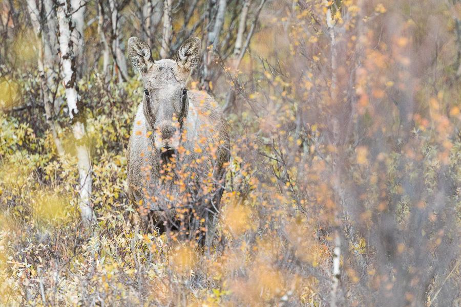 moose elk norway autumn birches marco ronconi wildlife nature alce norvegia fotografia naturalistica natura betulle autunno