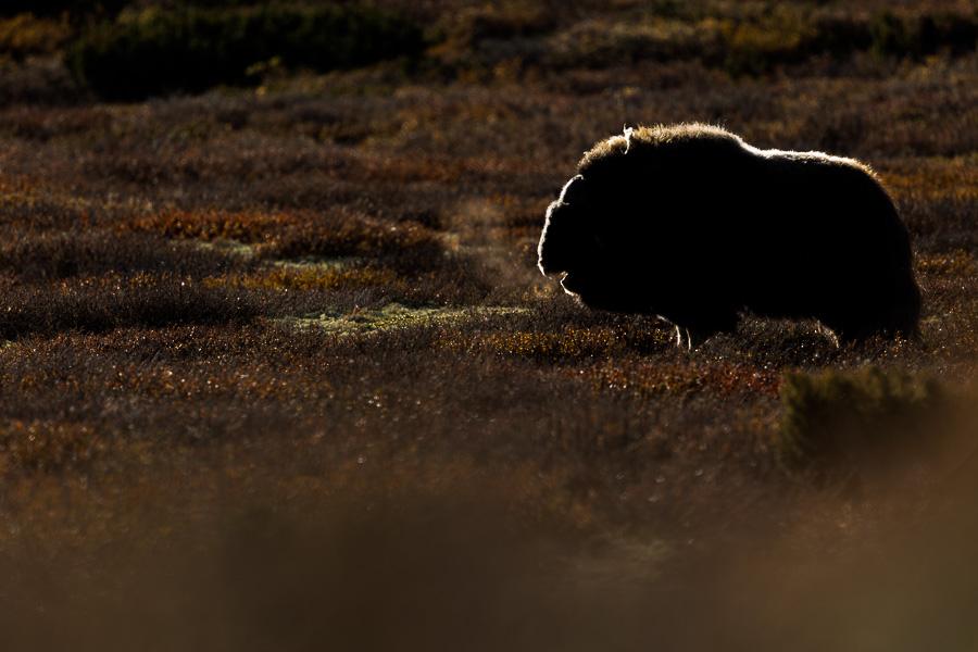 muskox norway backlit animals mammals marco ronconi wildlife photography bue muschiato controluce norvegia natura fotografia naturalistica escursioni dovrefjell