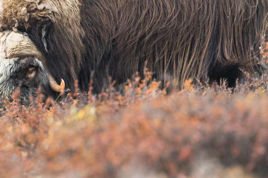 muskox detail animal mammals norway dovrefjell marco ronconi nature wildlife bue muschiato norvegia ritratto fotografia naturalistica