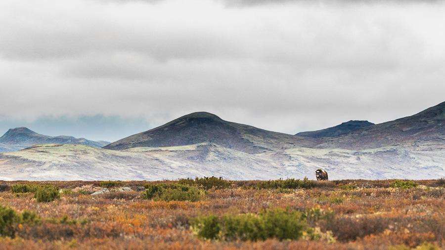 muskox norway dovrefjell panorama marco ronconi wildlife nature bue muschiato panorama dovrefjell norvegia escursione fotografia naturalistica