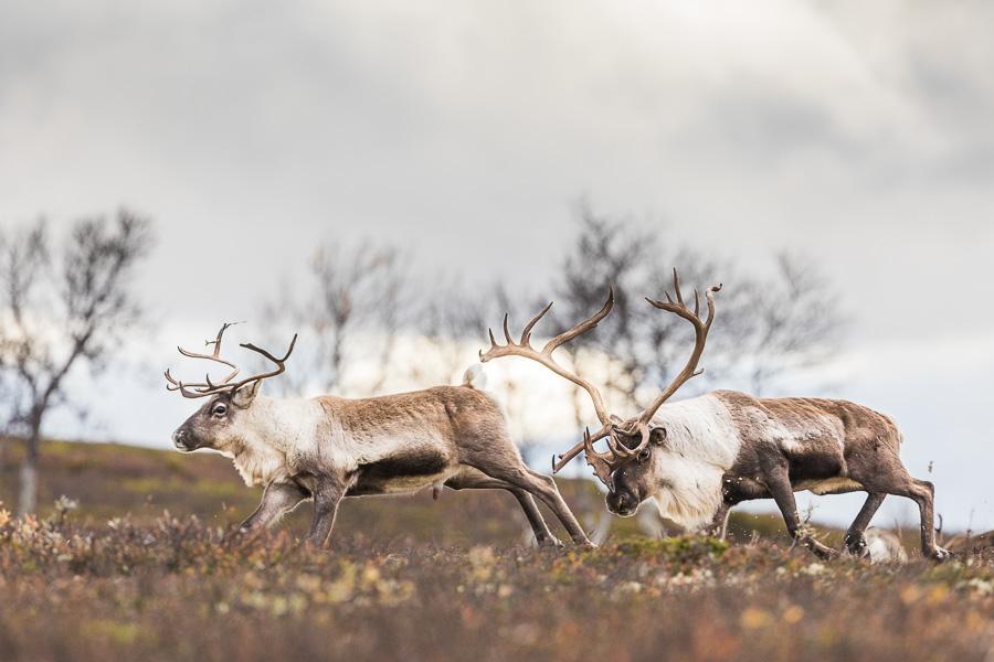 reindeer norway forollhogna rutting season marco ronconi wildlife renne selvatiche norvegia natura fotografia naturalistica escursionismo avventura
