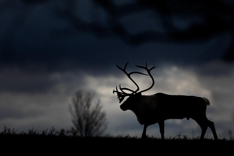 reindeer norway silhouette forollhogna fine art marco ronconi wildlife renna selvatica controluce norvegia natura fotografia naturalistica escursionismo