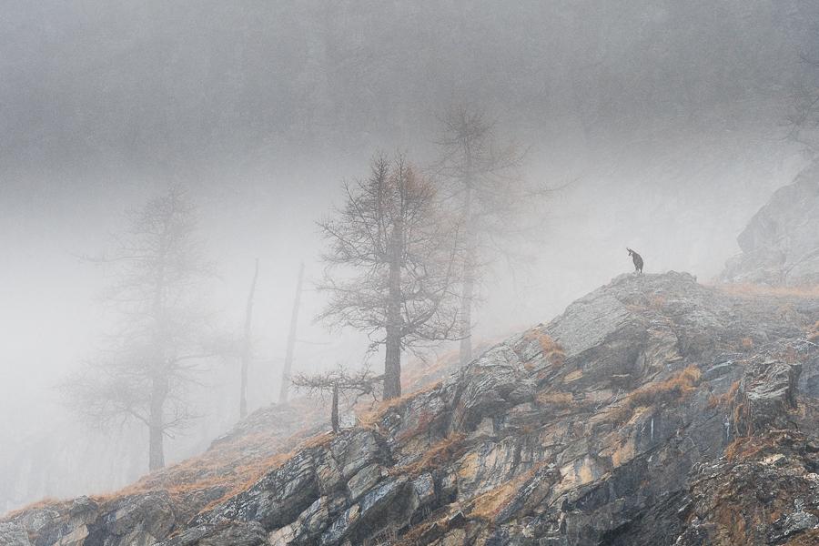 chamois in the fog valsavarenche gran paradiso camoscio nella nebbia valsavarenche parco del gran paradiso