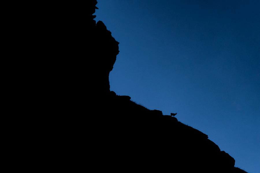 chamois at blue hour gran paradiso national park camoscio al crepuscolo parco nazionale del gran paradiso valsavarenche