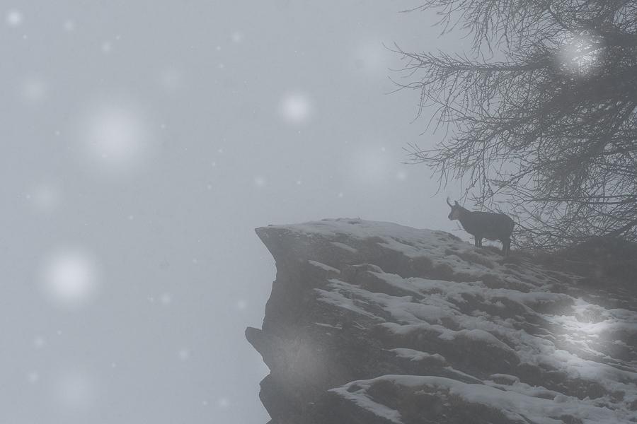 chamois under the snow gran paradiso national park camoscio sotto fiocchi di neve parco nazionale gran paradiso
