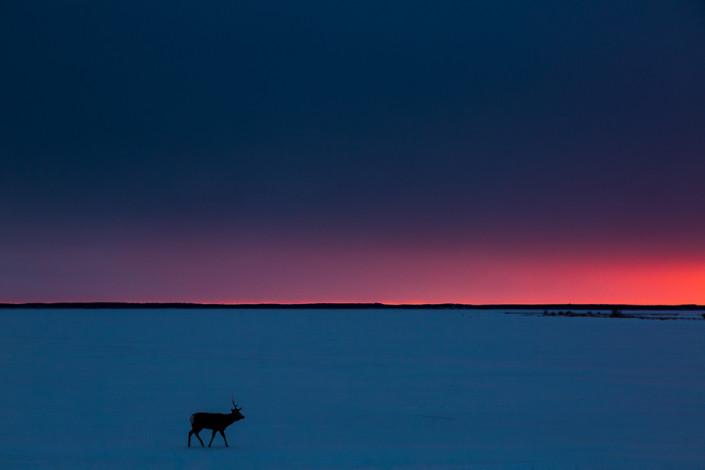 sika deer at twilight sunset hokkaido japan marco ronconi nature wildlife photography cervo al tramonto hokkaido giappone marco ronconi fotografo naturalista fotografia naturalistica hokkaido giappone