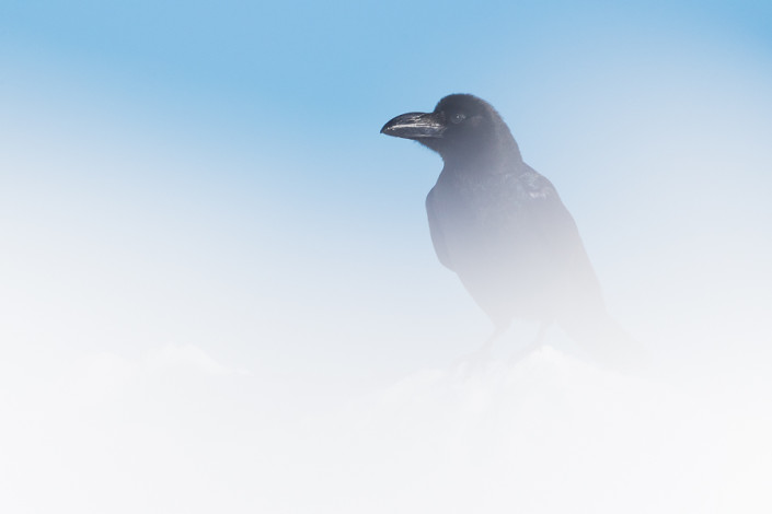 corax raven in the snow hokkaido japan marco ronconi wildlife nature photography corvo sulla neve hokkaido giappone marco ronconi fotografo natura fotografia naturalistica hokkaido giappone minimalismo minimal
