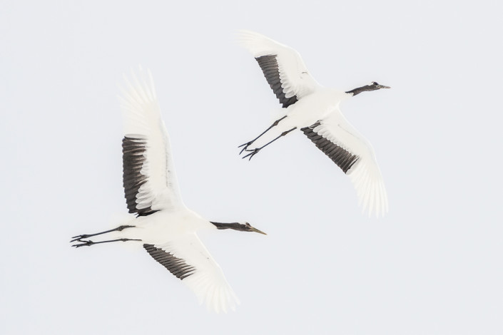 flying red crowned cranes kushiro hokkaido japan marco ronconi wildlife photography minimalism gru del giappone in volo hokkaido marco ronconi fotografo natura uccelli fotografia naturalistica