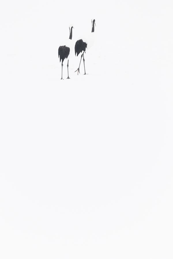 red crowned cranes on a white canvas marco ronconi wildlife photography gru del giappone nel bianco hokkaido marco ronconi fotografo natura naturalistica minimalismo minimal