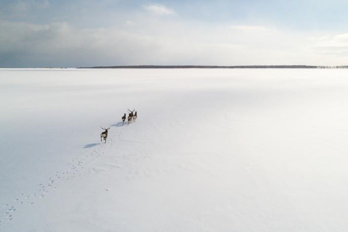sika deers running on a frozen lake hokkaido japan marco ronconi nature wildlife photography cervi sika in corsa sul lago ghiacciato hokkaido marco ronconi fotografo natura naturalistica animali selvatici giappone