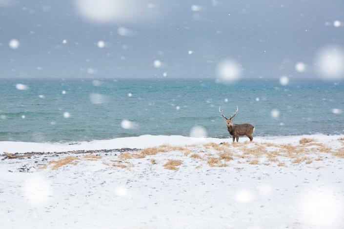 sika deer in the snowstorm hokkaido nemuro marco ronconi wildlife photography nature cervo nella tormenta nemuro hokkaido giappone marco ronconi fotografo natura fotografia naturalistica