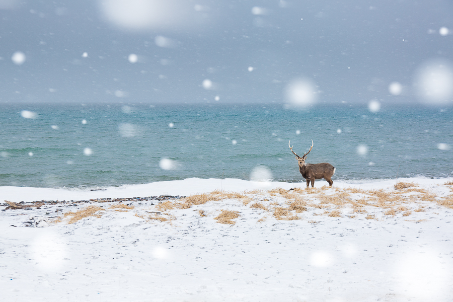 sika deer in the snowstorm hokkaido nemuro marco ronconi wildlife photography nature cervo nella tormenta nemuro hokkaido giappone marco ronconi fotografo natura fotografia naturalistica