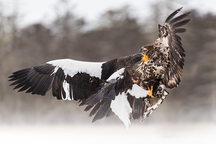 Eagles fighting hokkaido japan marco ronconi wildlife photography nature combattimento tra aquile marco ronconi wildllife fotografia naturalistica natura animali selvatici