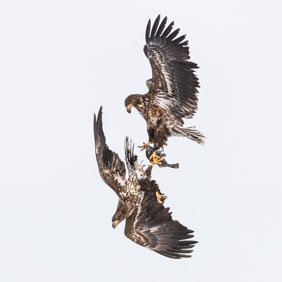 white tailed eagles fighting for a fish hokkaido marco ronconi willdlife photography combattimento tra aquile di mare per il pesce hokkaido marco ronconi fotografo natura fotografia naturalistica uccelli