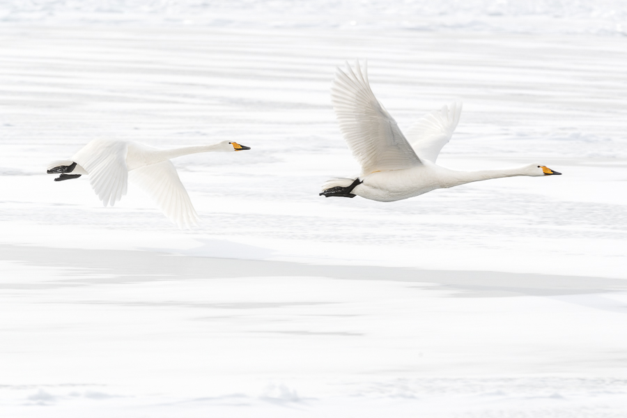 Flying whooper swans hokkaido japan marco ronconi wildllife photography nature cigni selvatici in volo marco ronconi fotografo natura animali selvatici uccelli
