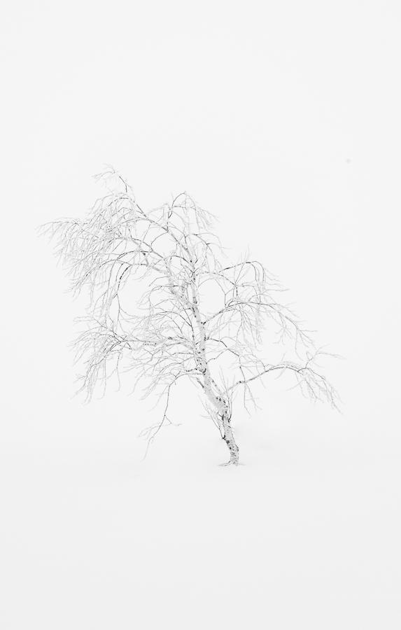 old white tree in the snow hokkaido japan marco ronconi nature photograher albero bianco solitario nella neve hokkaido giappone