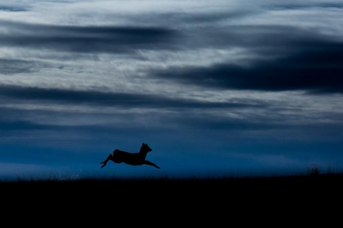 jumping deer hokkaido japan marco ronconi widlife nature photography minimalism cervo in volo hokkaido giappone marco ronconi fotografo natura naturalistica minimalismo