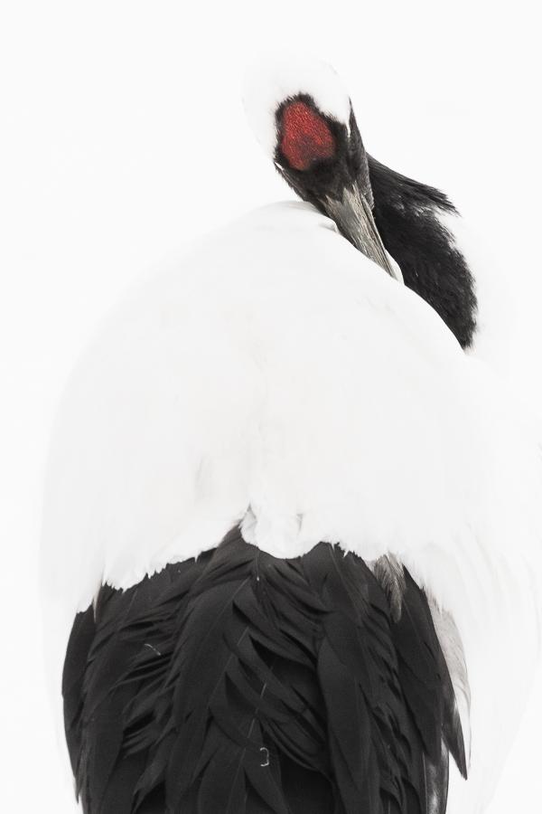 red crowned crane closeup hokkaido kushiro japan marco ronconi nature wildlife gru del giappone dettaglio marco ronconi fotografo naturalista natura naturalismo minimalismo hokkaido
