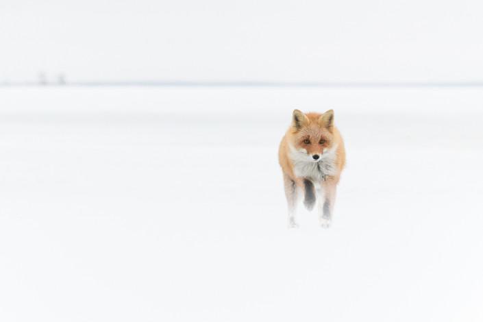 running red fox on the snow hokkaido japan marco ronconi nature wildlife photography volpe rossa corre sulla neve hokkaido giappone marco ronconi fotografo natura naturalistica selvaggio selvatico