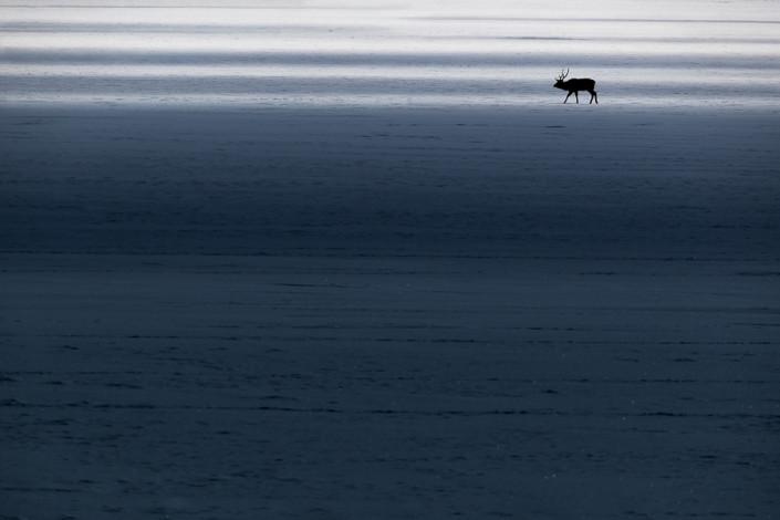 sika deer in light and shadows nemuro hokkaido marco ronconi nature wildlife photography cervo sika alba hokkaido nemuro giappone marco ronconi fotografo natura fotografia naturalistica