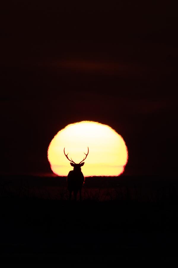 sika deer sunset hokkaido japan marco ronconi nature wildlife photography cervo sika al tramonto hokkaido giappone marco ronconi fotografo minimalismo natura