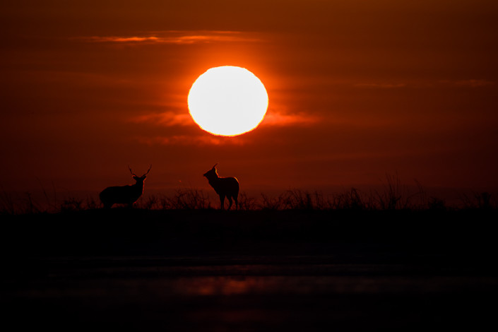 Sika deer sunset nemuro hokkaido japan marcoronconi wildlife photography cervi sika al tramonto fotografia naturalistica giappone hokkaido marco ronconi fotografo selvatico selvaggio natura