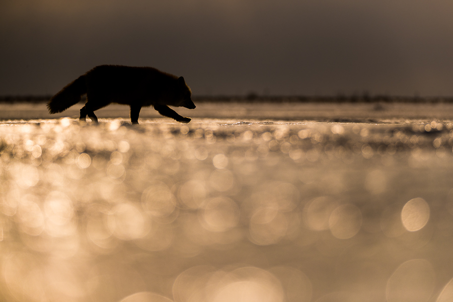 red fox running on a frozen lake at sunset hokkaido marco ronconi wildlife photography volpe rossa corre su lago ghiacciato al tramonto marco ronconi fotografo naturalista natura animali selvatici