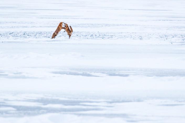 fighting foxes hokkaido kussharo lake japan marco ronconi wildlife photography minimal art lotta tra volpi hokkaido lago kussharo giappone fotografia naturalistica natura selavaggio selvatico
