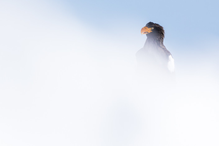 steller sea eagle in white hokkaido furen japan marco ronconi wildlife photography minimal art fotografia naturalistica aquila di steller nel bianco hokkaido giappone marco ronconi