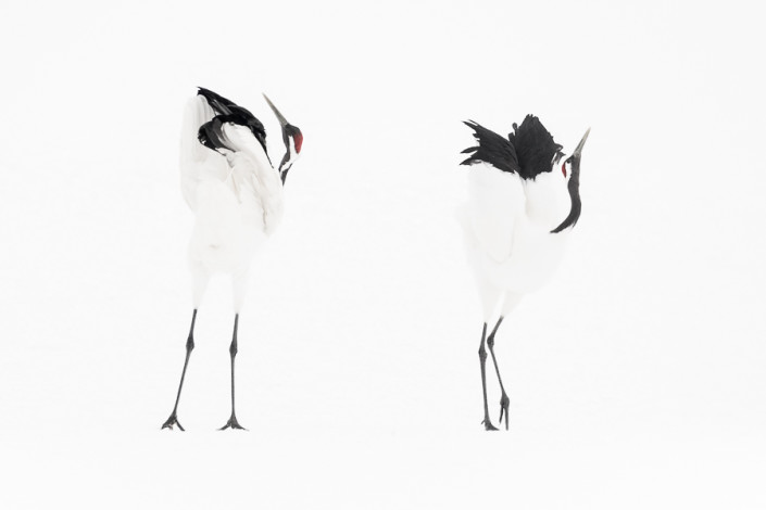 red crowned cranes dancing hokkaido kushiro marco ronconi wildlife photography minimalistic minimal gru del giappone danza marco ronconi fotografia naturalistica selvaggio selvatico natura hokkaido giappone